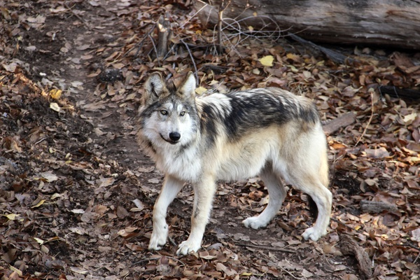 Endangered Mexican gray wolves getting help at a New Mexico zoo